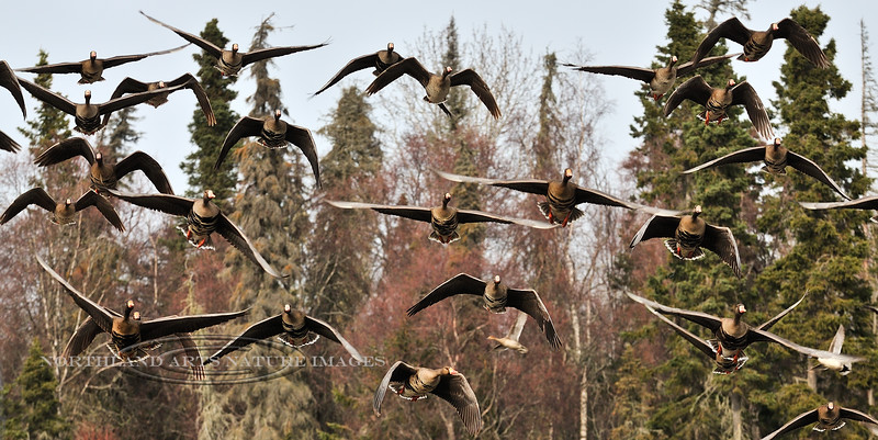 Goose, Greater White-fronted. South Central, Alaska. #56.209. 1x2 ratio format.