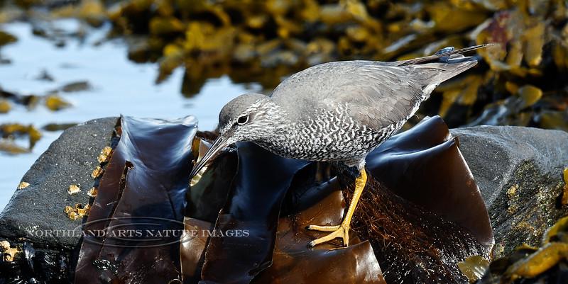 Tattler, Wandering 2012.5.16#014. Foraging on some Bull Kelp. Seward Alaska.