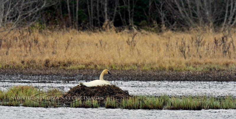 Swan, Trumpeter 2015.4.28#1141. Seward Alaska.