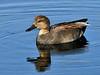 Gadwall Duck 2009.5.11#240. In breeding color. Potter Marsh, South Central Alaska.