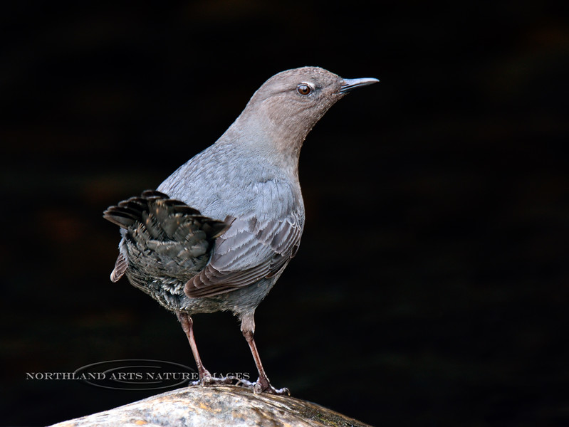Dipper, American 2014.4.23#1339. In breeding plumage. Culvert near Seward Alaska.