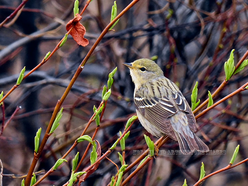 Warbler,Blackpoll 2014.6.6#313. A female in spring willows. Near Tangle Lakes, Denali Highway Alaska.