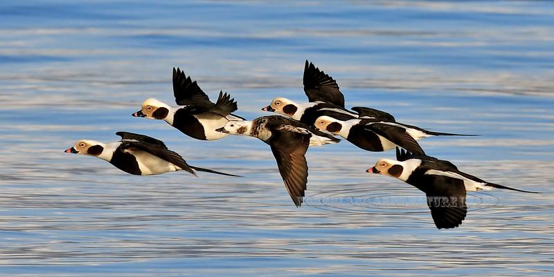 Oldsquaw 2009.3.7#399. Now called Long-tailed Duck. Kachemak Bay, Homer Alaska.