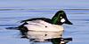 Goldeneye, Common 2011.4.20#158. A drake in breeding plumage. Spenard Crossing, Anchorage Alaska.