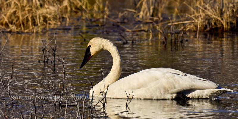 Swan, Trumpeter 2013.6.6#178. Near the Susitna River bridge, Denali Highway Alaska.