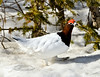 Ptarmigan, Willow 2009.4.27#037. Male coming out of the white phase. Mile 10, Denali Park Alaska.