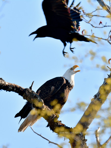 Eagle, Bald 2015.5.4#013. Being harassed by a Raven. Kulis military Base, Anchorage Alaska.