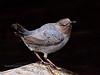 Dipper, American 2014.4.23#1338. In breeding plumage. Culvert near Seward, Alaska.