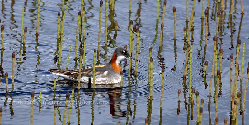 Phalarope, Red-necked 2014.6.6#205. Tundra pond near the Susitna river bridge, Denali Highway Alaska.