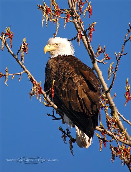 Eagle, Bald 2005.5.1#012. Strikes a pose amongst the Cottonwood catkins. Westchester Lagoon, Anchorage Alaska.
