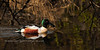 A Northern Shoveler looking for a quite place to rest for the night. South Central Alaska. #517.061. 1x2 ratio format.