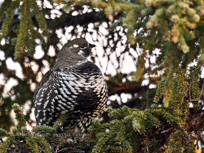 Grouse, Spruce 2014.9.22#054. Mile Twelve , Denali Park Alaska.