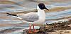 Gull, Bonaparte's 2005.5.4#009. Westchester Lagoon, Anchorage Alaska.