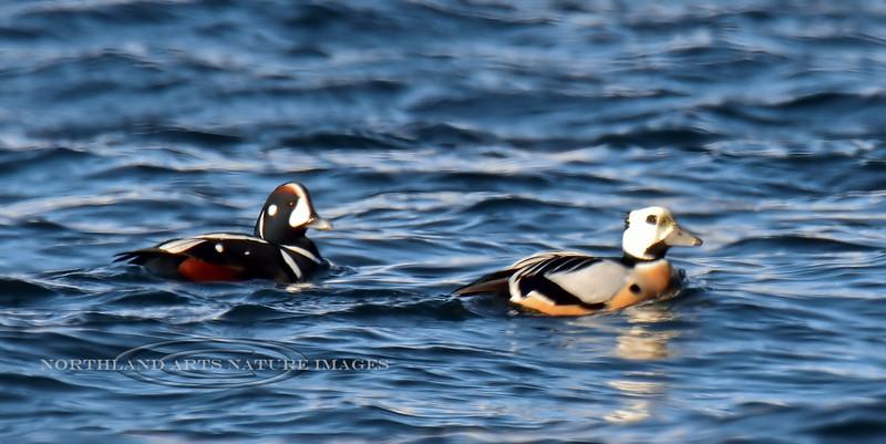 Eider, Steller's 2015.3.9#863. With Harlequin duck. Resurrection Bay, Seward Alaska.