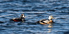 Eider, Steller's 2015.3.9#863. With Harlequin duck. Resurrection Bay, Seward Alaska.