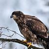 Eagle, Bald 2010.1.13#035. Kenai River near Cooper Landing Alaska.
