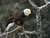 Eagle, Bald 2014.10.16#199. Perched on a watch for late run salmon. Upper Gulkana River Alaska.