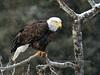 Eagle, Bald 2014.10.16#199. Perched on a watch for late run salmon. Upper Gulkana River Alaska.