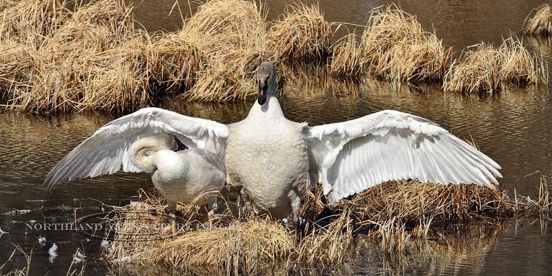 Swan, Trumpeter 2014.4.22#123. Tern Lake, Kenai Peninsula Alaska.