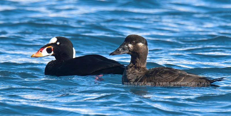 Scoter, Surf 2014.4.10#1020. A pair of breeding birds early spring. Seward Alaska.