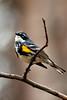Warbler, Yellow-rumped,Myrtle. Skilak Lk.Rd.,Alaska. #519.147, 2x3 ratio format.