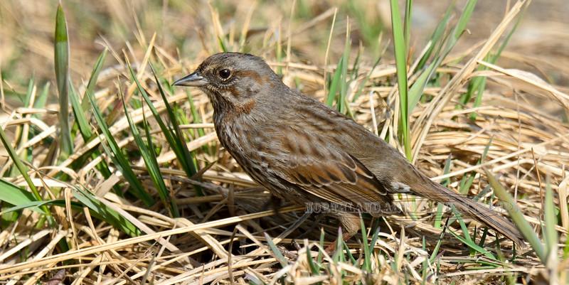 Sparrow, Kenai Song 2014.4.21#289. Homer Spit, Alaska.