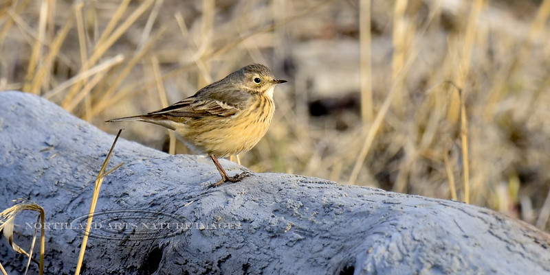 Pipit, American 2013.5.20#171. Pauses to check me out. Cook Inlet adjacent to Potter Marsh,  Anchorage Alaska.