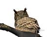 Owl, Great Horned 2015.5.9#099. Kincaid Park, Anchorage Alaska.