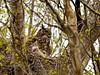 Owl, Great Horned 2015.5.7#029. Kincaid Park, Anchorage Alaska.
