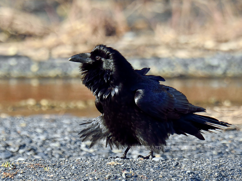 Raven, Common 2015.3.9#683. Seward Alaska.