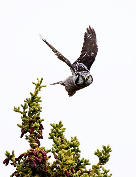 Owl, Northern Hawk 2008.9.11#024. Mile ten, Denali Park Alaska.