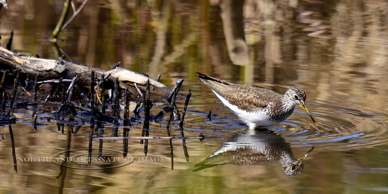 Sandpiper, Solitary 2013.6.6#193. A shorebird that is constantly on the move. Frozen in an image that invokes wonder, whether it is really pausing to look at itself. In a Beaver pond near Chulitna Alaska.