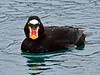 Scoter, Surf 2015.4.28. Seward Alaska.