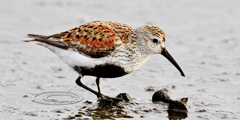 Dunlin 2013.5.14#354. A handsome male in breeding color trys to open mussels in Mud Bay, on Homer Spit Alaska.