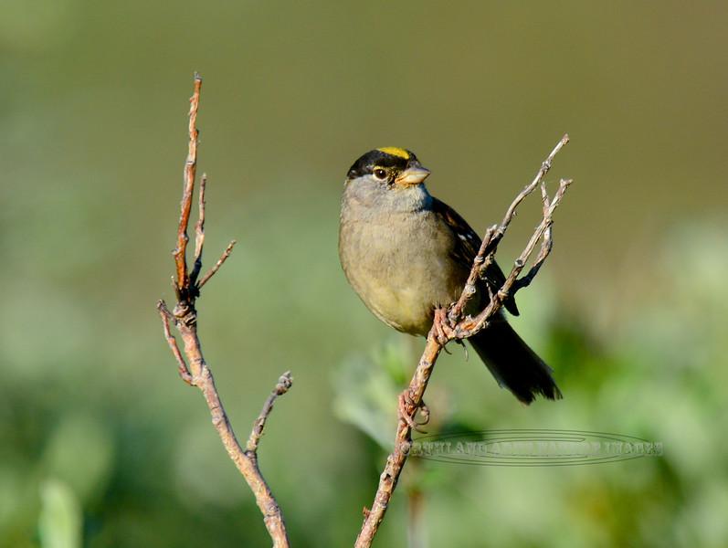 Sparrow, Gold Crowned. 2015.6.23. Kougaruk road, Seward Peninsula, Alaska.