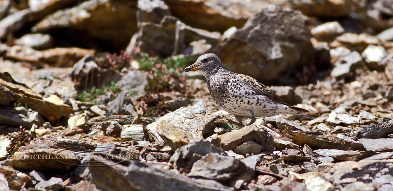 Surfbird 2000.6.16#11. Protesting near it's nest. The dark chevrons on it's sides are distinctive. They spend most of the year along rocky seashores, but spring and early summer you will have to climb high rocky alpine slopes and ridges to find it. Savage Canyon, Denali Park Alaska. Scanned from old film stock.