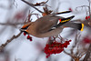 Waxwing, Bohemian 2014.12.28#041. Highgate Circle, Anchorage Alaska.