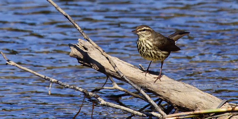 Waterthrush, Northern 2013.6.6#082. Searching for an intruder in it's territory. Chulitna, Parks Highway Alaska.