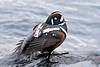 Harlequin Duck 2011.5.18#102. Seward Alaska.