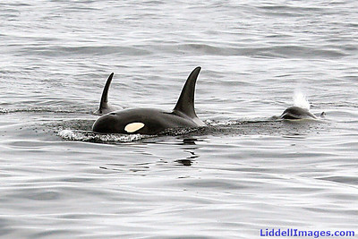 Mother Orca, with a one year old juvenile and her new baby... giving a little spurt!     This photograph has been published in The Peak magazine and the Arizona Republic newspaper.