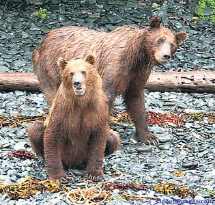 Grizzlies on the beach ..... Katmai..... Foraging in the rain.