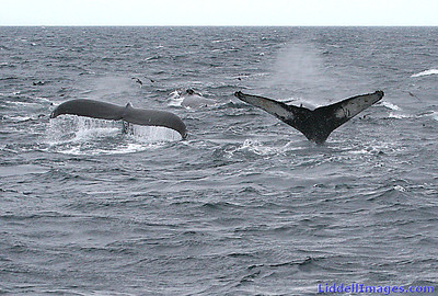 More Humpbacks..