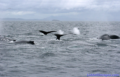 Over one hundred Humpback whales all around us... spurting, blowing and diving...... some sliding down the side of our boat......