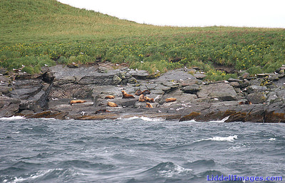 The Sea Lions are moving up on the rocks... and out of the water.   Orcas love salmon and sea lions for lunch......