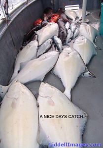 This day's catch was a mixture of Halibut, Silver Salmon, Yellow Eye and Ling Cod.