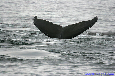 Another Humpback diver....