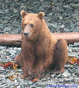 Grizzly on the Katmai ....... note the claws.......