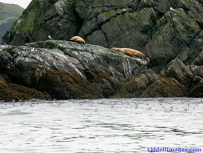 The Sea Lions are moving up on the rocks... and out of the water... and beyond the Orcas reach..