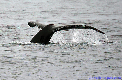 Here is a Humpback beauty... going for a dive..... up to 300 feet.....