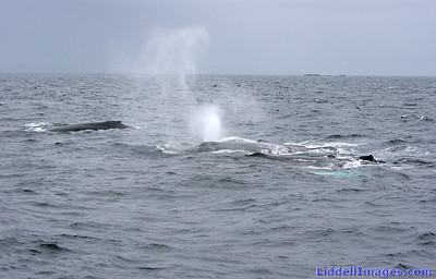 Humpbacks surfacing and blowing.......